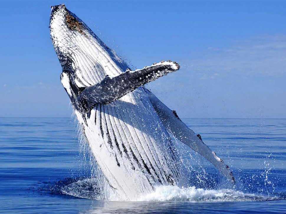 Hervey Bay - Whale Watching Season Is Here | Adagold Aviation Australia
