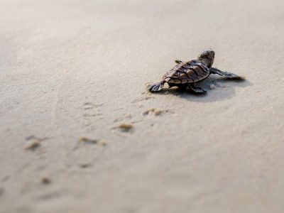 Experience Queensland: See baby turtles hatch at Mon Repos