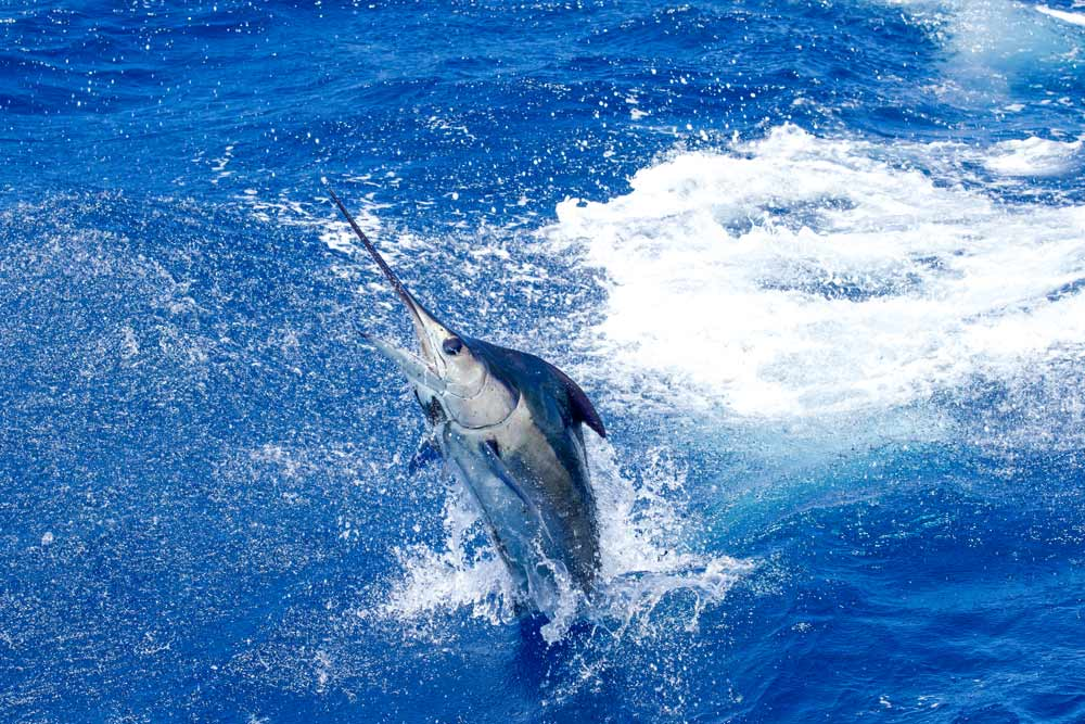 Marlin season in Far North Queensland itinerary