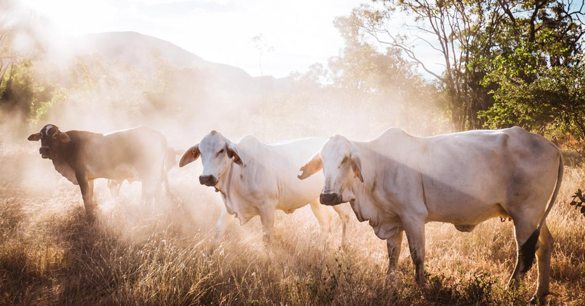 Cows at Mt Mulligan Lodge
