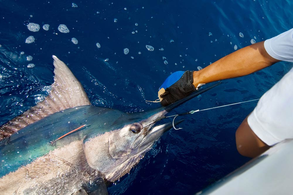 marlin fishing experience gold coast bryon bay tweed heads itinerary